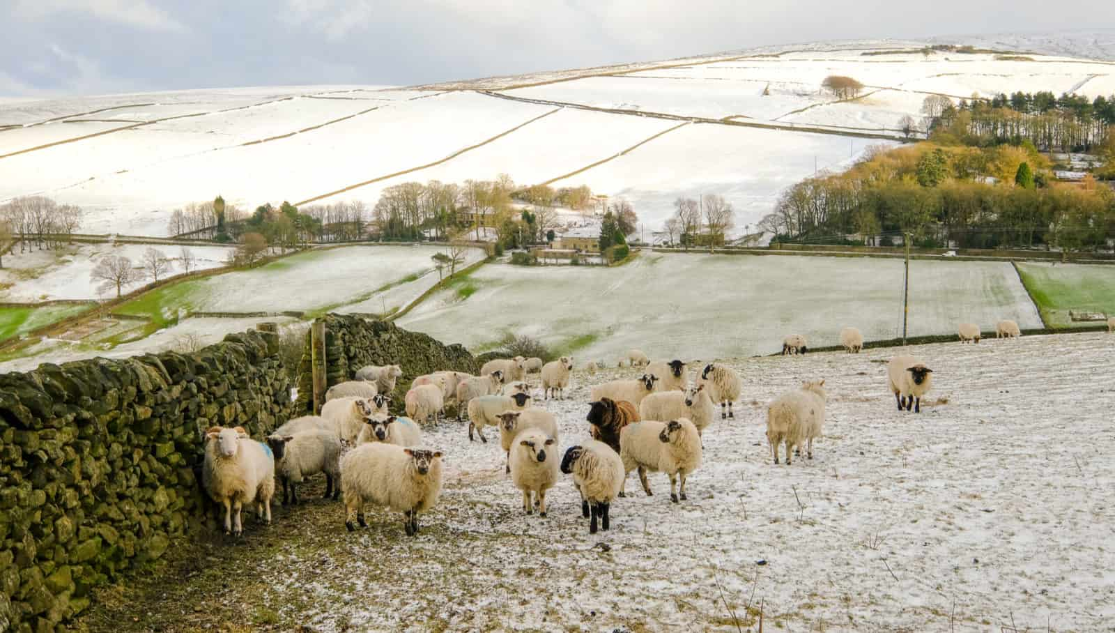 A flock of sheep in Glossop, UK