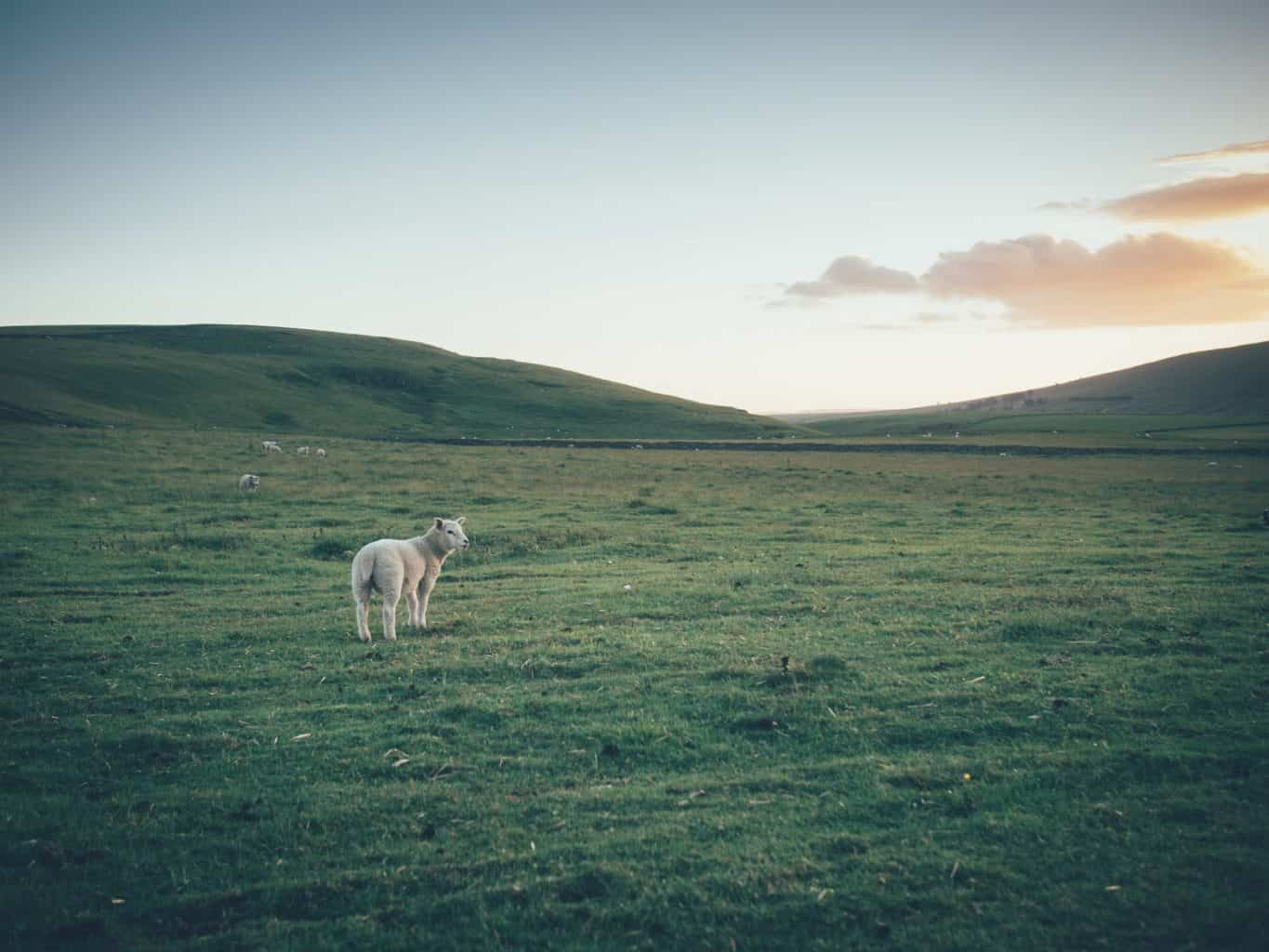 Sheep in Edale, Derbyshire