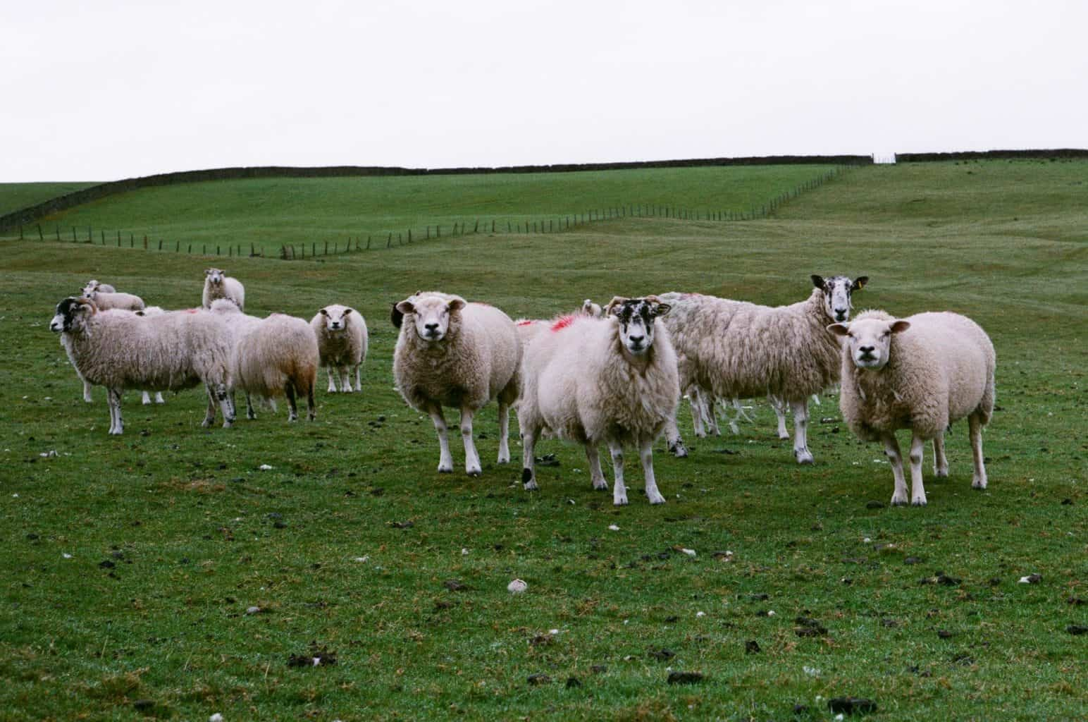 A herd of sheep standing in a field in the Yorkshire Dales on a rainy day.